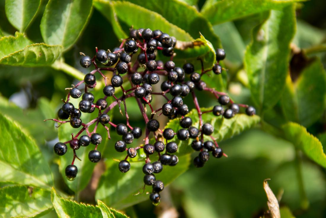 Prefer Organic Elderberry To Achieve A Healthy Lifestyle – 3CBD